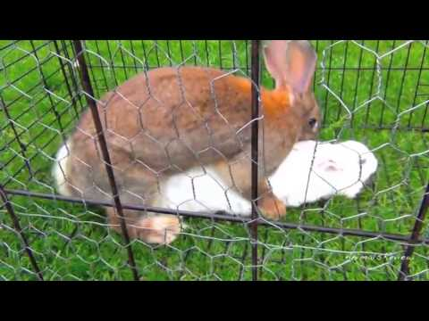 Bunny rabbits mating funny fast animals mating close up