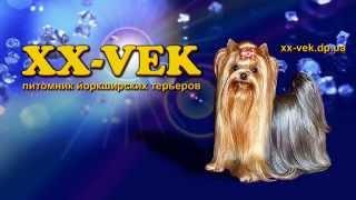 Йоркширский терьер купить щенка