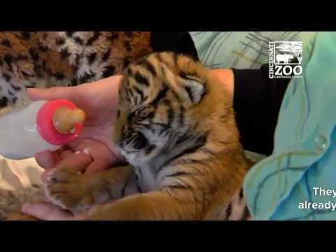 Tiger Cubs are Growing Up Fast - Cincinnati Zoo