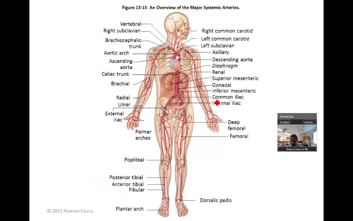 Blood Vessel Functional Anatomy - YouTube