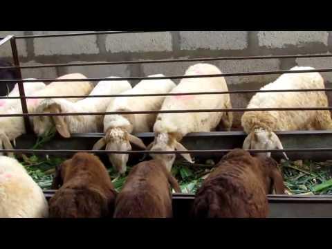 BEST SHEEP FARM , INDIA