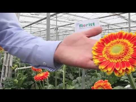 Even more new and upcoming gerberas - Holland & Skyline Flower Growers