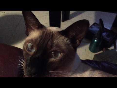 Hubert the loving Siamese cat for Echo, Evan, and Elton =^._.^=