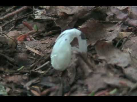 Wild Medicinal- Indian Pipe.wmv