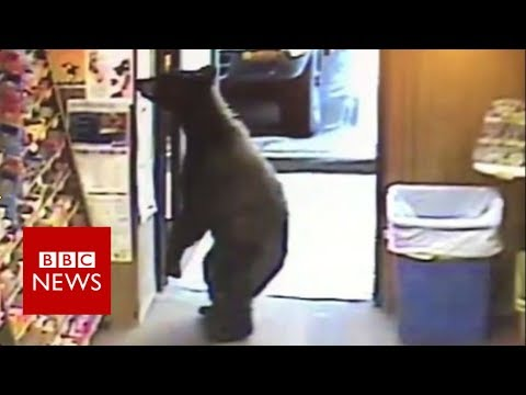 Bear walks into a liquor shop - BBC News