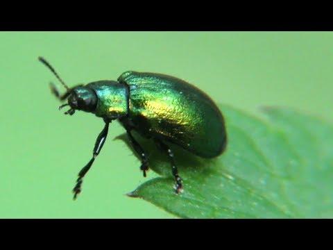Жук листоед зеленый мятный, Chrysolina Herbacea