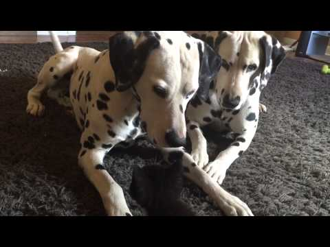 Dalmatians Prove To Be Lovely Foster Parents