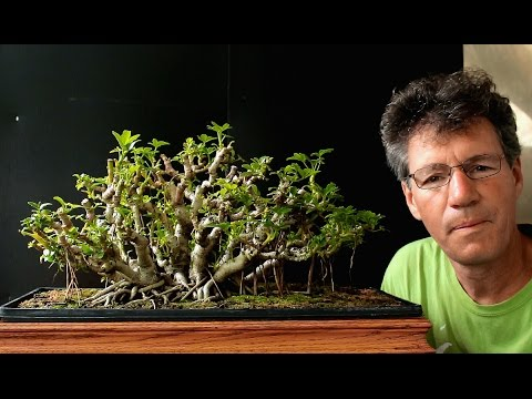 Schefflera Bonsai Update July 2016 Youtube