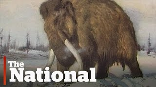 Woolly mammoth cloning 1 step closer thanks to genome research