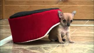 Chihuahua Puppies 11th February 2016