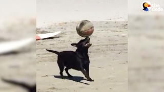 Smart Dog Balances Ball On His Head