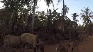 Cambodge : des buffles, des vaches, la vie, etc. / Buffaloes, cows and life... Cambodia!