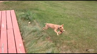 Funny Puppy Zoomies! Starring Pinto Bean