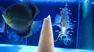 Breeding Discus - Blue Turquoise Discus Breeding Pair with Fry [HD]