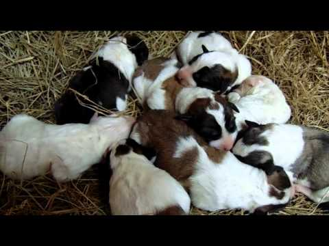 Livestock Guardian Dogs Video #2