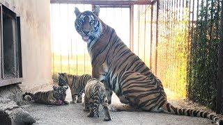 "Бровки-Лилии и ее тигровые креветочки. Тигры Тайгана. Tigress ""brow-lily"" with the cubs. Taigan"