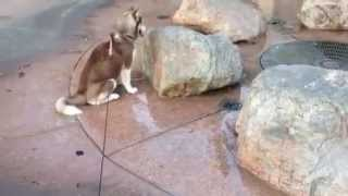 Siberian Husky Puppy Gets A Wet Surprise