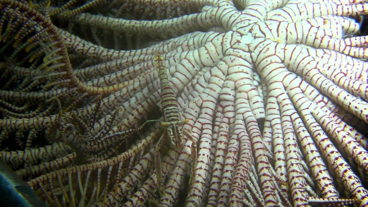 海羊齒上的共生蝦! - YouTube