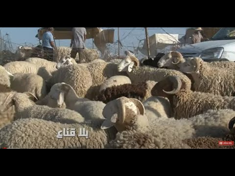 Download bila kinaa  علوش العيد فقط للوزراء وزعماء الأحزاب و الكناطرية ..البقية لهم أجر الصبر