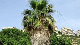 Мордо́вник, Эхи́нопс (лат. Echínops)Хайфа.Израиль.Haifa. Israel.