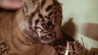 Wild Life at the Zoo Season 1 Episode 3 - Miracle Tiger Birth at the Zoo