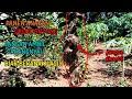 Panen Burung Sogok Ontong Dikebun Jeruk  Mp3 - Mp4 Download