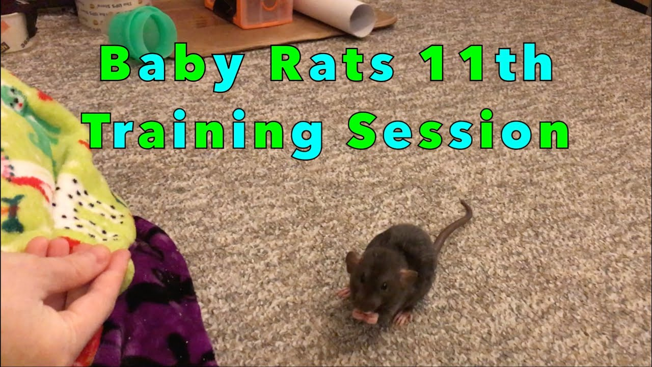 Baby Rat's 11th Trick Training Session (6 Weaves & Starting Flyball)