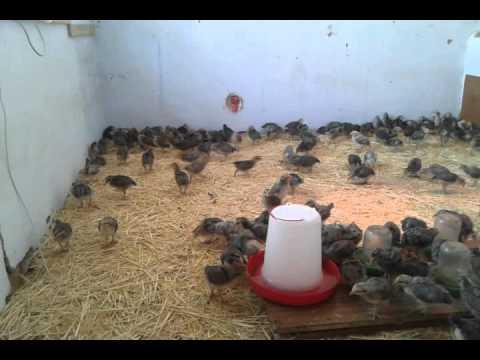 Цыплята Борковской Барвистой 16 дней