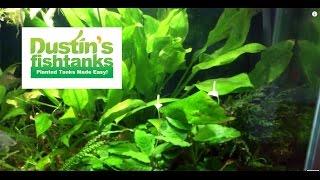 How to grow Anubias: Anubias Flowering Species Sunday