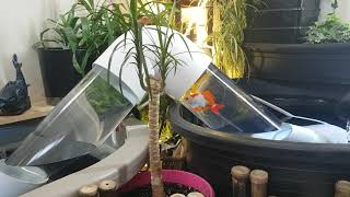 夏は金魚がよく似合う。透明なチューブで結ばれた池を作ってみたけどどうだろうか