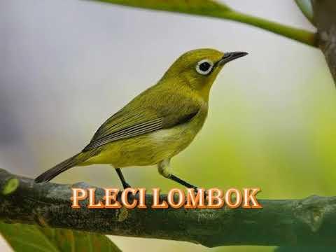 2018 pleci lombok, gacor cocok buat masteran burung muda