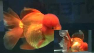 Game of Thrones opening sung by a fish Thumbnail