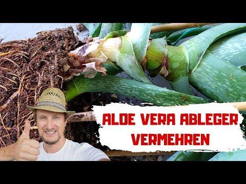 Aloe Vera Ableger 🔴 So Vermehre Ich Meine Pflanze