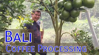 Coffee Production in Bali, Indonesia, A Quick Glimpse