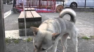 1歳1ヶ月のやんちゃな紀州犬です。ボール遊びは大好きです(笑)