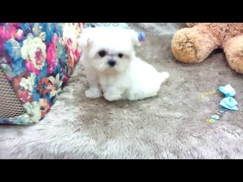 Micro teacup Maltese puppies for sale