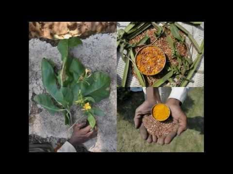 Medicinal Rice P5K Formulations for Kingiodendron Excess: Pankaj Oudhia's Medicinal Plant Database