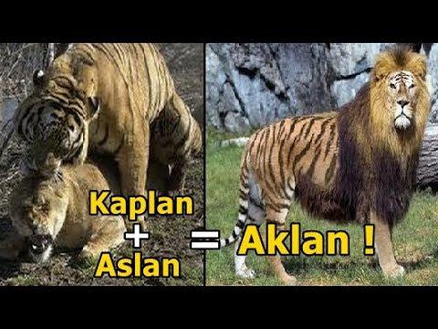Kaplan ve Aslan Çiftleşmesi Sonucu