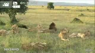 Funny Lions Filmed on Safari.