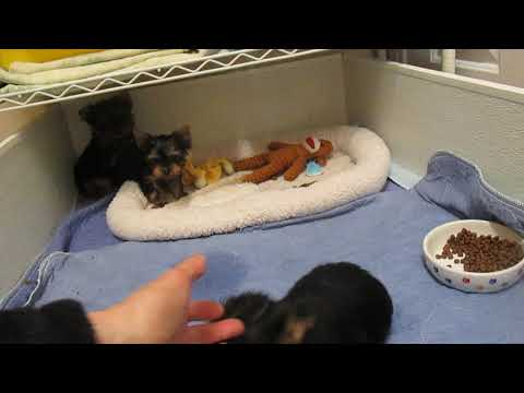 yorkie puppies growing up