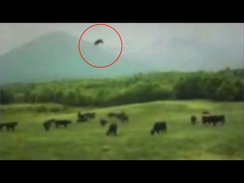 Cow Abduction Caught On Camera!