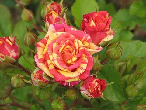 обрезаем бордюрные -  спрей розы, питомник роз Полины Козловой