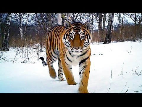 Siberian Tiger Kill | Operation Snow Tiger | BBC