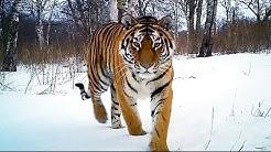 Siberian Tiger Kill | Operation Snow Tiger | BBC