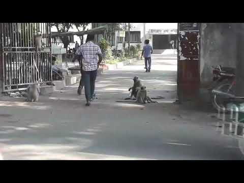 খাবারের জন্য হনুমান দল সড়কে। Vlog Kabir Hossain
