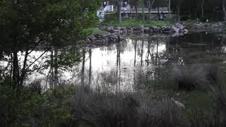 Gough Whitlam Park saltmarsh in flood