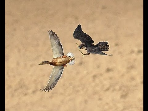 Watch Falcon Destroys Duck Mid Flight