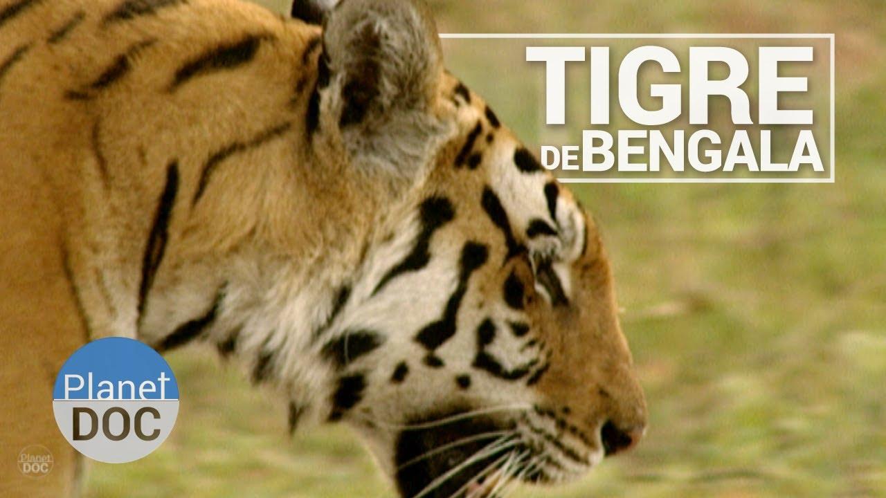 Download El Tigre de Bengala | Animales Salvajes - Planet Doc