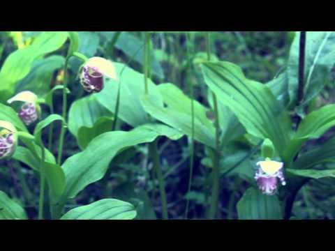 Венерин башмачок пятнистый