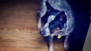 pinion to the rescue australian cattle dog puppy barks at halloween decoration